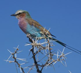 Namibia Lilac Breasted Roller