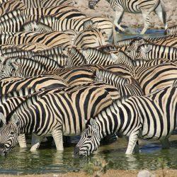 Zebras in Etosha Pan