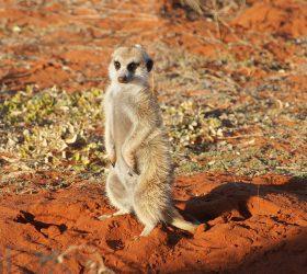 Namibia Meerkat in the Kalahari