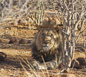 Namibia Lion in Etosha Pan