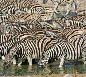 Namibia Zebras in Etosha Pan